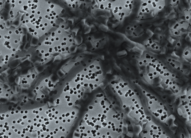 Streptomyces Californicus, SEM-kuva